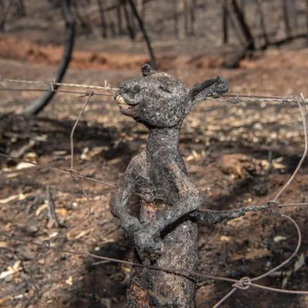 Baby Kangaroo trapped in wire when trying to escape bushfire - Picture: Brad Fleet - Source:News Corp Australia