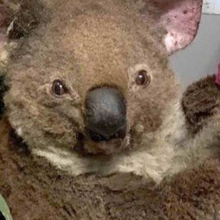 Koala with bandages