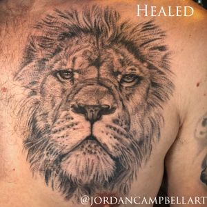 Healed, realistic, fine line, black and grey lion on chest
