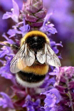 Fuzzy bumblebee!