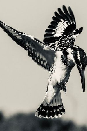 Magpie Kingfisher chest