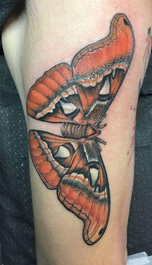 Atlas moth covering scars