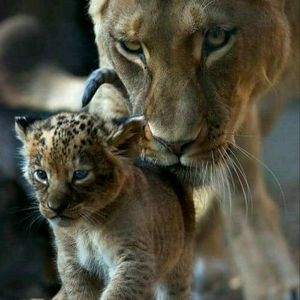 #megangdreamtattoo  I would love this, even with another 2 Cubs the the photo. As the Cubs represents my children and I am the mother and I will protect my family.