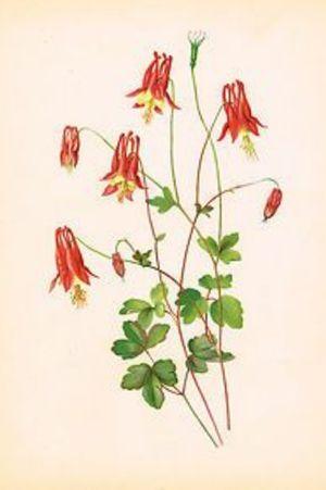 Columbine #favorite #flower #newengland #vermont #northeast #wild #columbineflower #aquilegia #beautiful and #unique #mine #red #yellow
