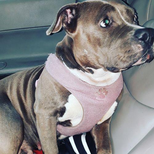 Blu the loveable Bully #Pitbull #Bully #Loyal