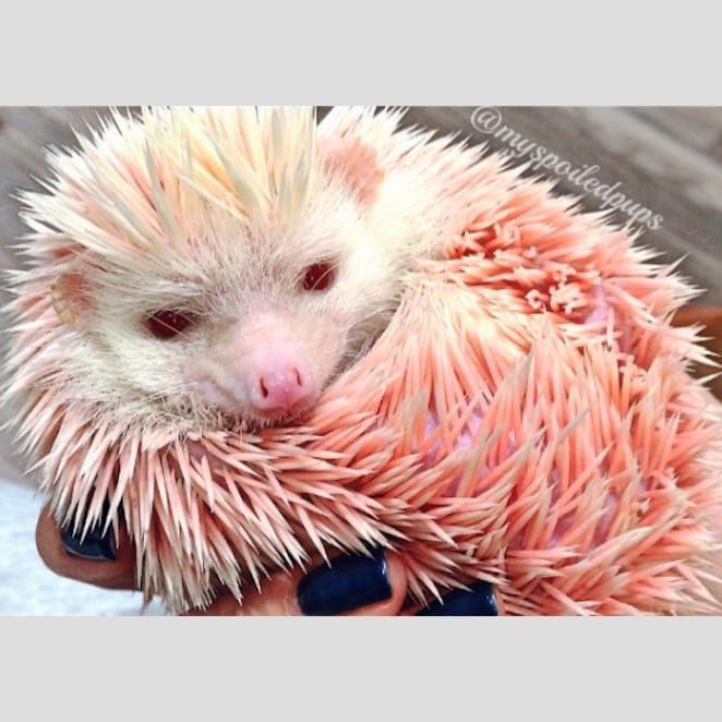Photo of Pink Floyd found on myspoiledpups of Instagram. #pet #hedgehog