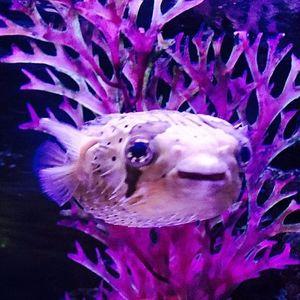 RIP, Pablow the puffer fish. #MileyCyrus #pufferfish #celebrity #celebritytattoos #RIP