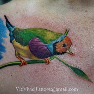 A Gouldian finch in progress by Vic Vivid (IG—vicvivid). #color #finch #realism #songbirds #VicVivid