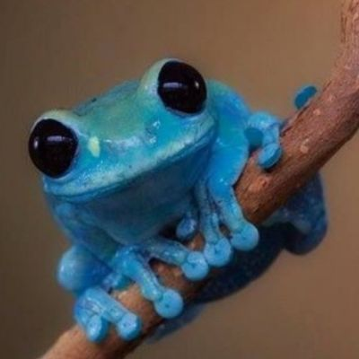 Another beautiful #color from #nature - a #blue #tree #frog #bluetreefrog -awesome #colour #blue for a #tattoo