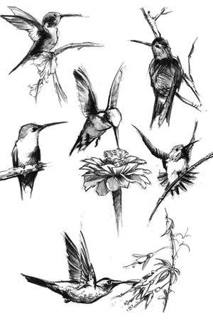 Hummingbird sketches