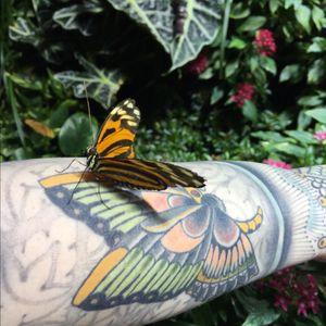 #rosehardy #butterfly