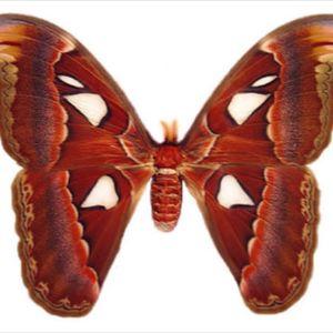 #megandreamtattoo atlas moth to celebrate 1 year of sobriety #heathen